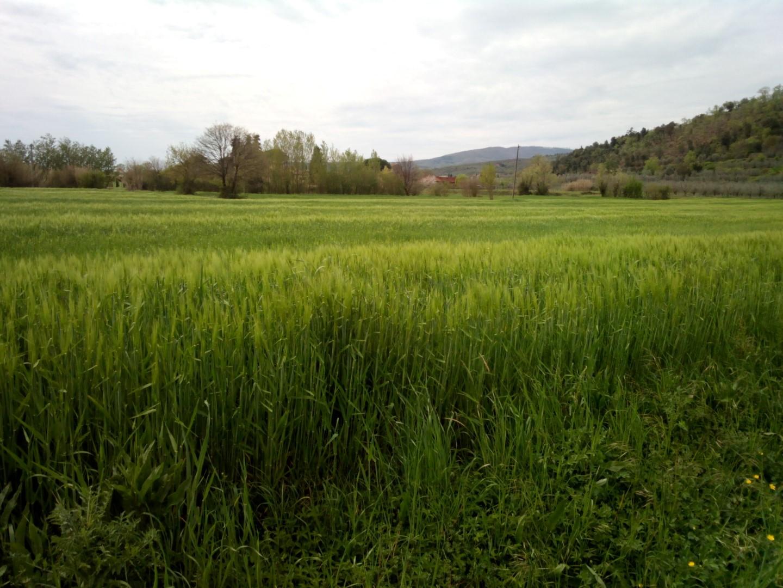 Campo di grano a Giovi, oltre la passerella