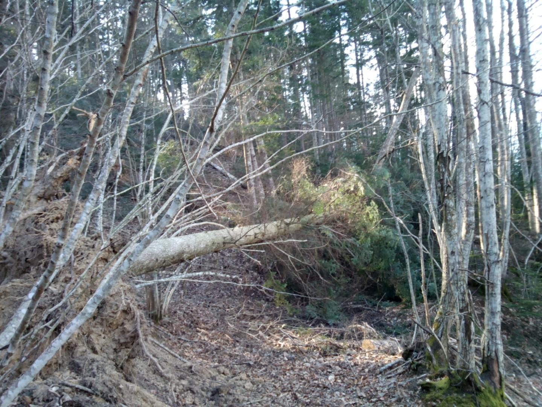 Albero caduto lungo il sentiero 533 sull'Alpe di Poti